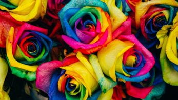 Group of rainbow coloured roses.