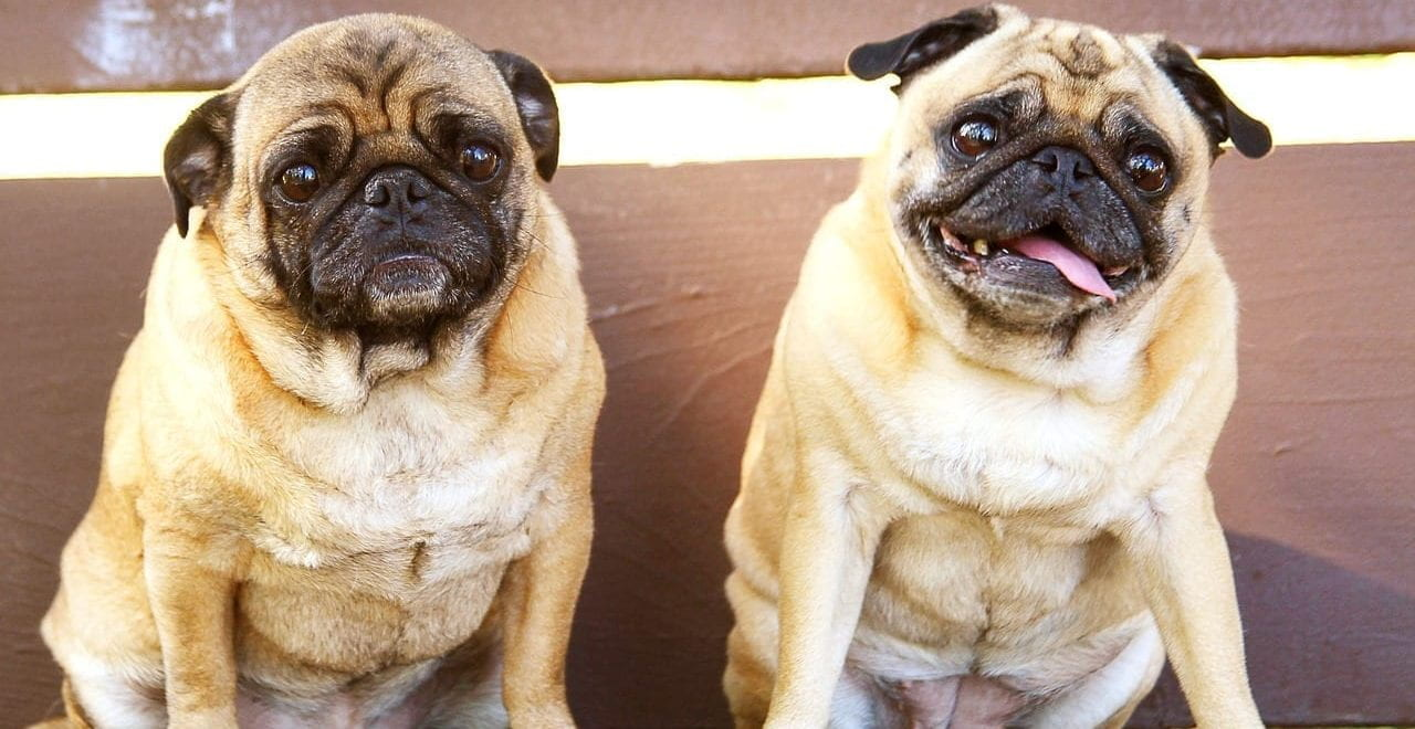 Two pugs.