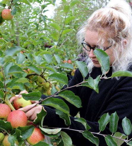 Two women pick apples from an apple tree
