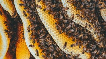 picture of honeycomb and bees