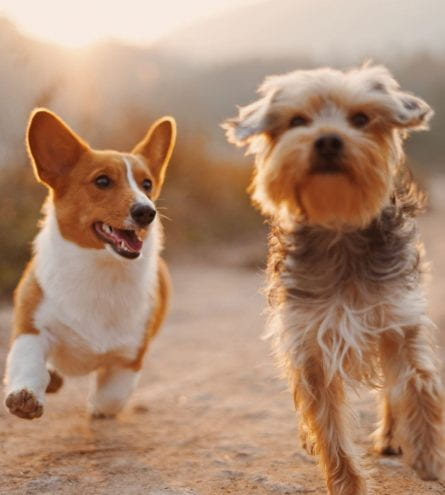 Two small dogs running together