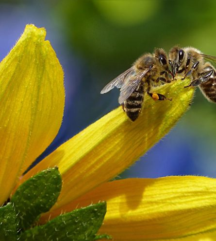 Bees close up on a flower
