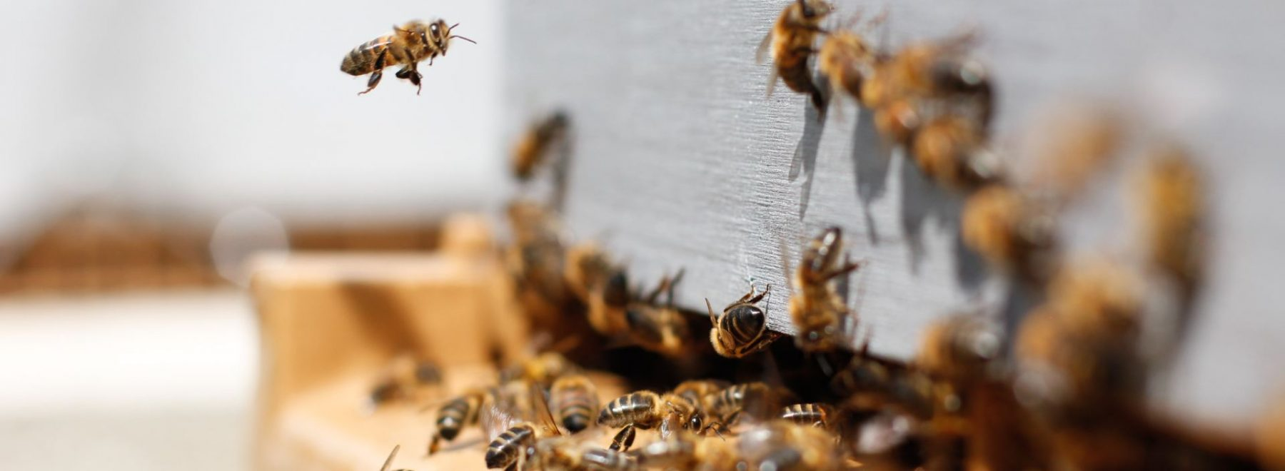 Bees trying to get into a hive