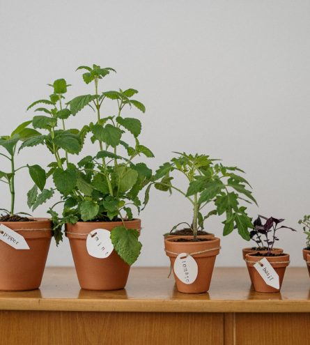 Herbs potted in a line