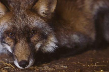 My Pet Fox