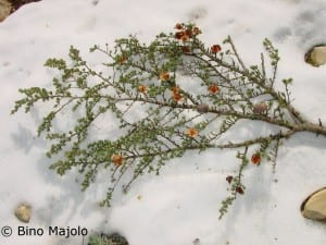 Branch of cedar tree in the snow