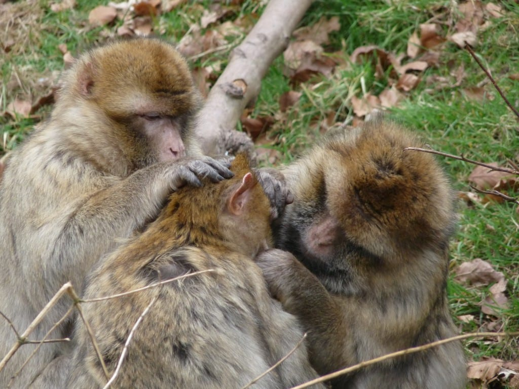 The monkeys were very cooperative and spent quite a lot of time grooming