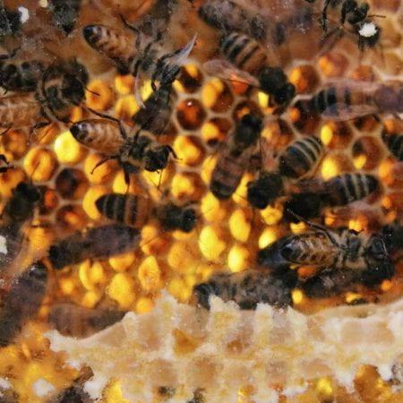 Image of honeybees on honeycomb