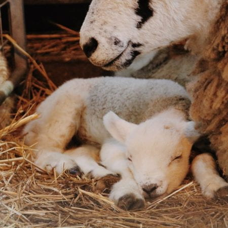 Image of a lamb sleeping in hay