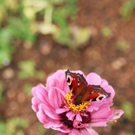 Image of a butterfly on a rose