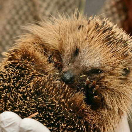 Image of a hedgehog curled into a little ball, it is being held in a hand. There are grass seeds in it's spines