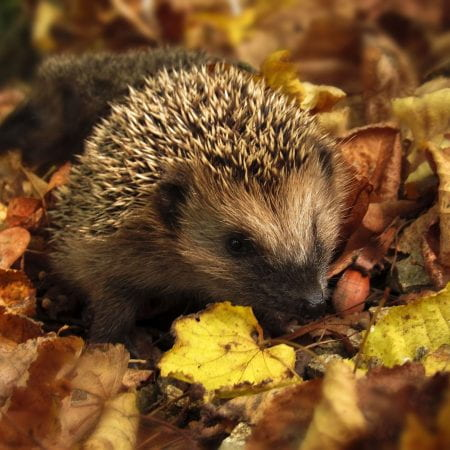 Image of a hedgehog, a small prickly mammal, in leaves