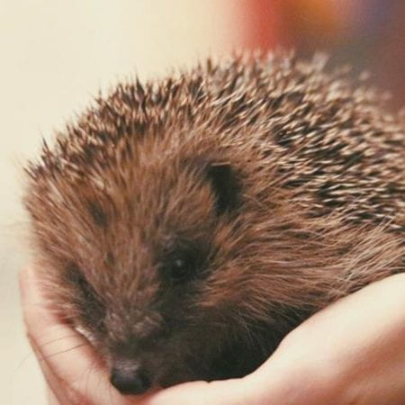 Image of a hedgehog in a person's hands