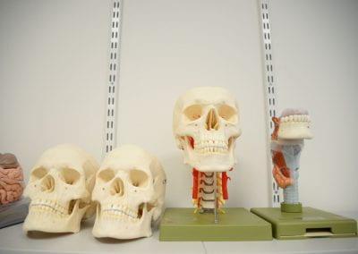 Image of model skulls