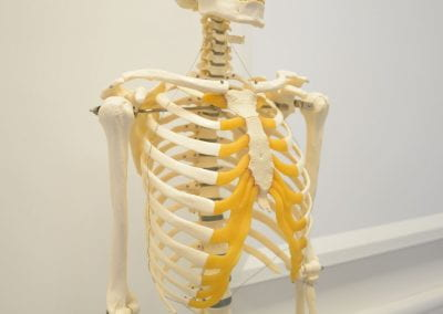 Image of a skeleton model