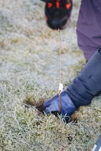 Image of a hand planting a sapling into frosty ground