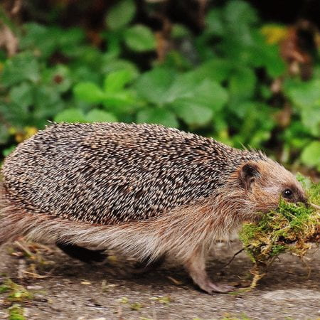 Image of a prickly mammal with spines walking along with moss in its mouth