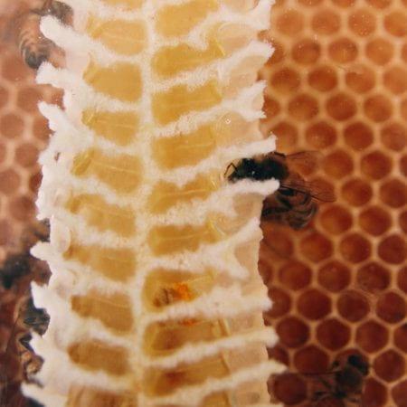 Image of honeybees in honeycomb