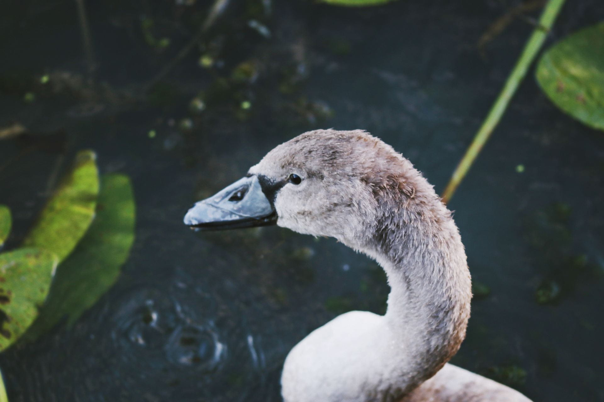 Image of a cygnet swimming in water