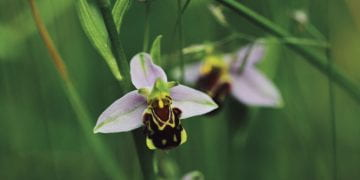 Image of a bee orchid, a pale purple petalled flower with a bee looking landing pad.