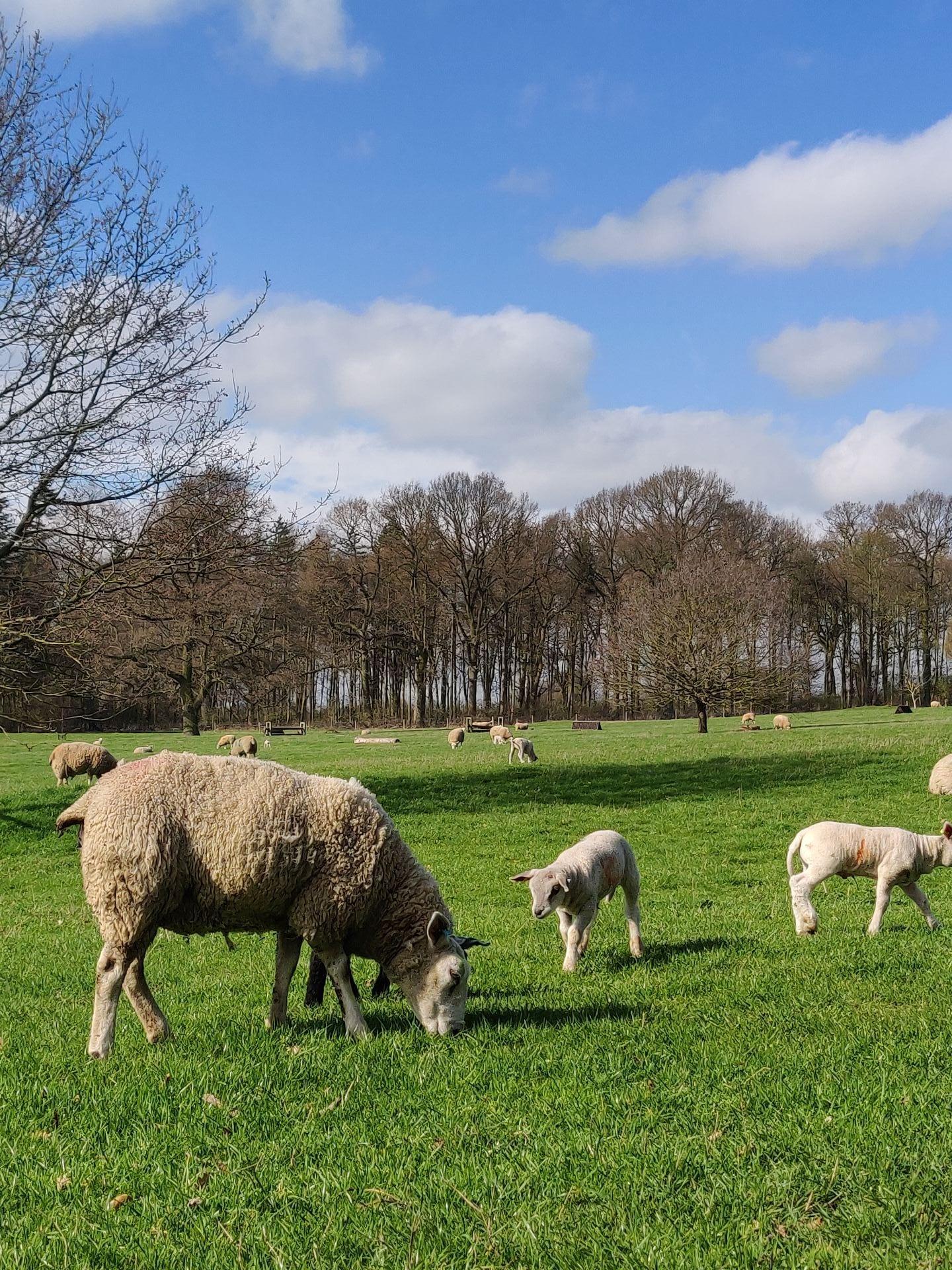 Riseholm Sheep