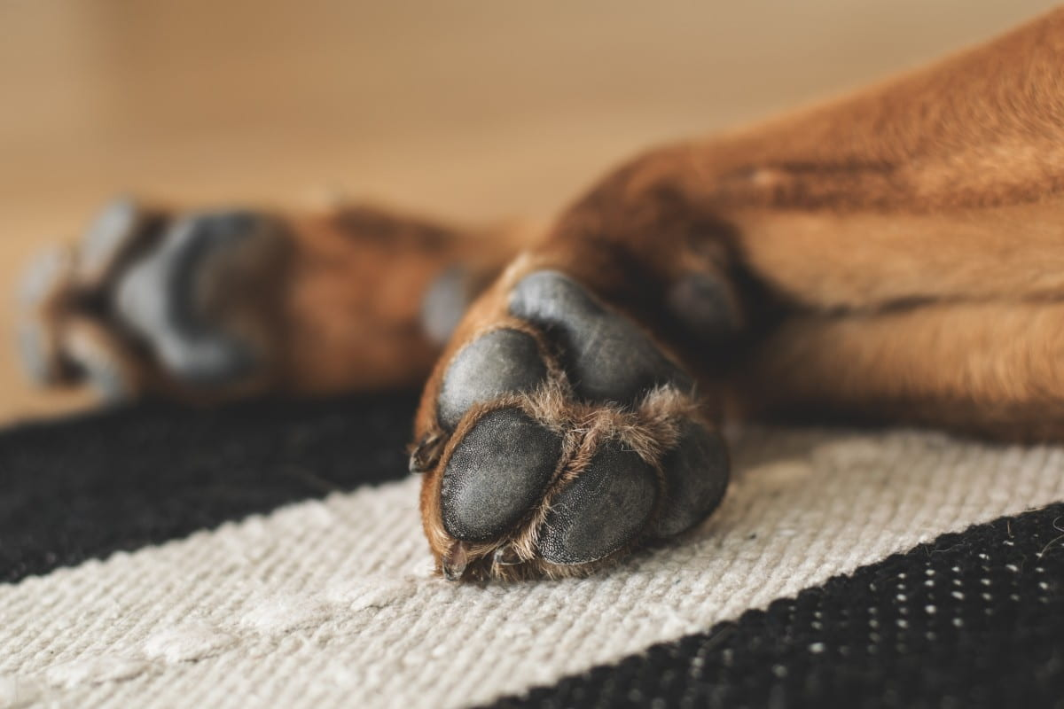 Paw Preference & Personality in Dogs