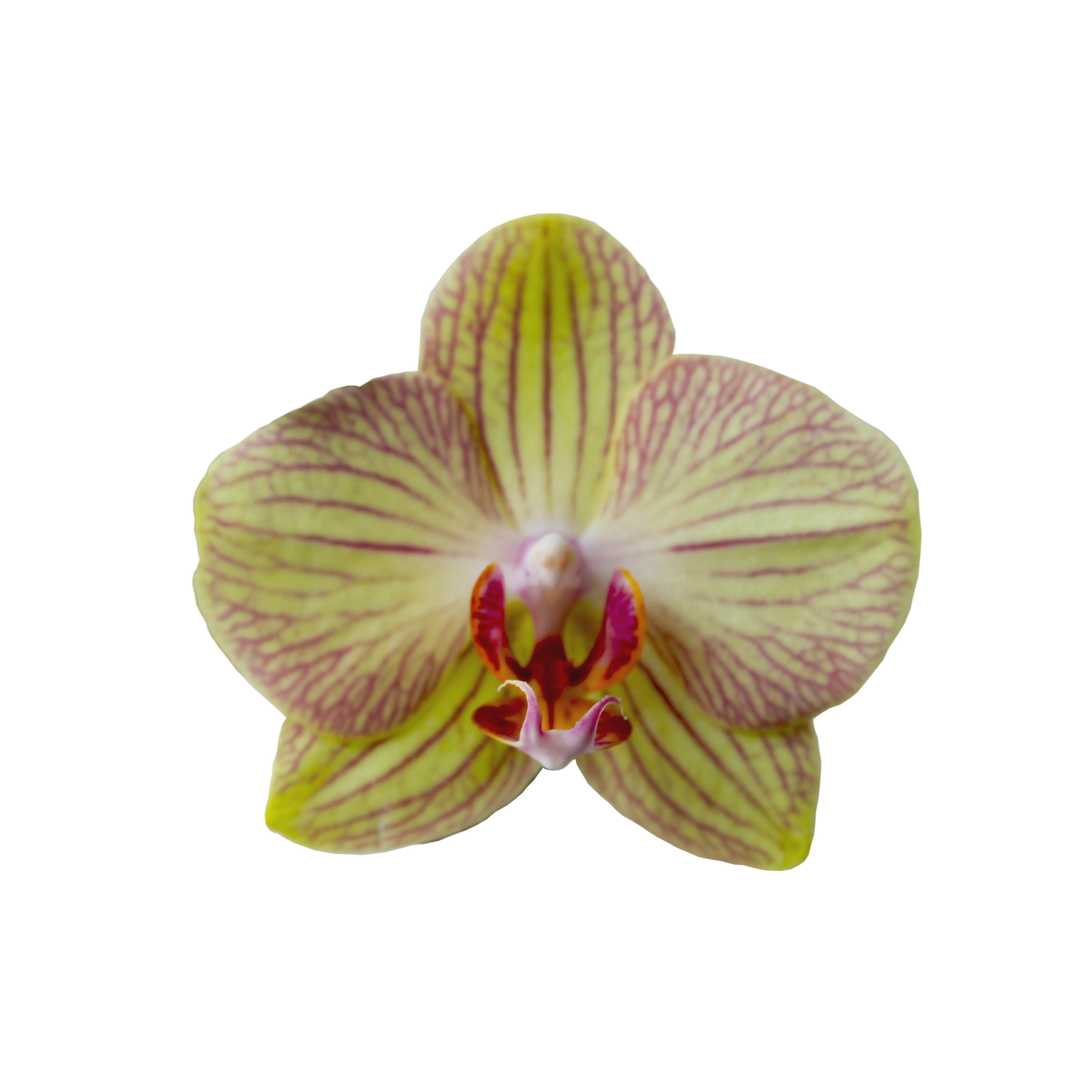 Orchid 1 colour 1g my attempts to diminish the stereotypical view of women as sexual objects by turning the vagina into a symbol that represents strength and womanhood buycottarizona