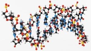 B0007708 Molecular model: DNA