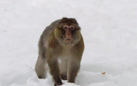 New paper shows value of friendship in monkeys surviving winter