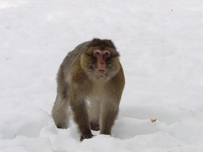 Monkey in snow