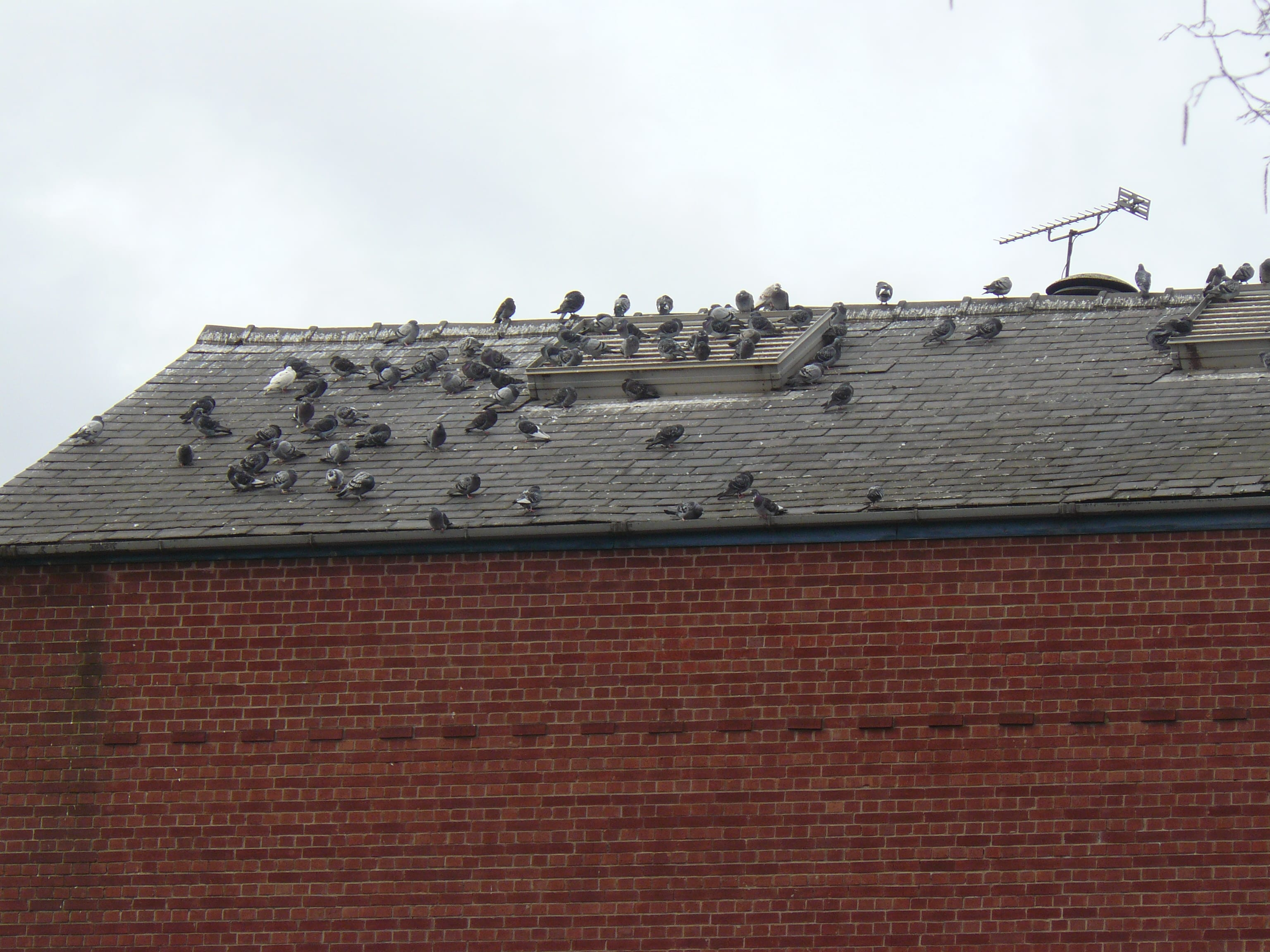 Pigeons on the roof, alas.