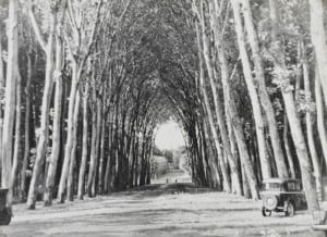 An avenue of plane trees, possibly leading to a park.