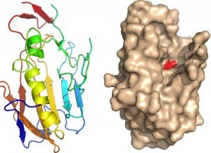 Figure 6. This structure (a) was solved in combination with a derivative data set, and is shown here with modelled surface and the position of an active site residue in red(d).