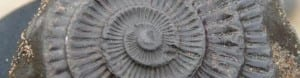 ammonite fossil spiral, image by sue watling