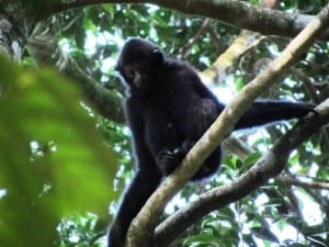 The Hainan Gibbon. Copyright Jessica Bryant 2011.