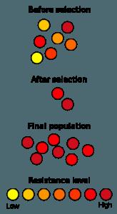 Diagram showing 'natural selection' of resistant antibiotics
