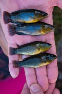 Cichlid fish. Image courtesy of  Dean Veall and Antonia Ford