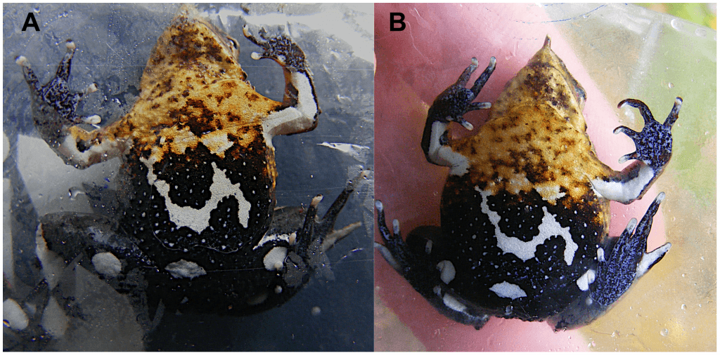 The same frog captured twice during the study - identifiable by it's unique underbelly patterning