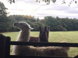 image of lamas in the fields around Chapelgarth Estate