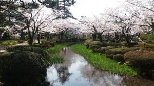 Sakura blossoms in Kenroku-en park, Kanazawa