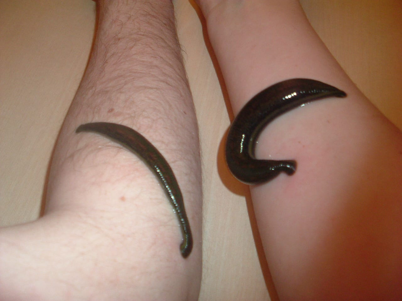 Leeches! Leeches!! Leeches!!! | UCL Researchers in Museums