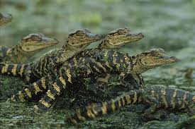 Group of baby alligators.