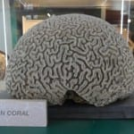 Brain coral from the Grant Museum collection.