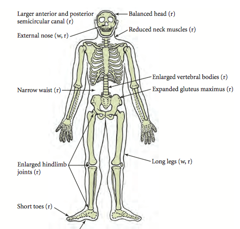 H. erectus skeleton with adaptations for running (r) and walking (w). From Lieberman 2010.