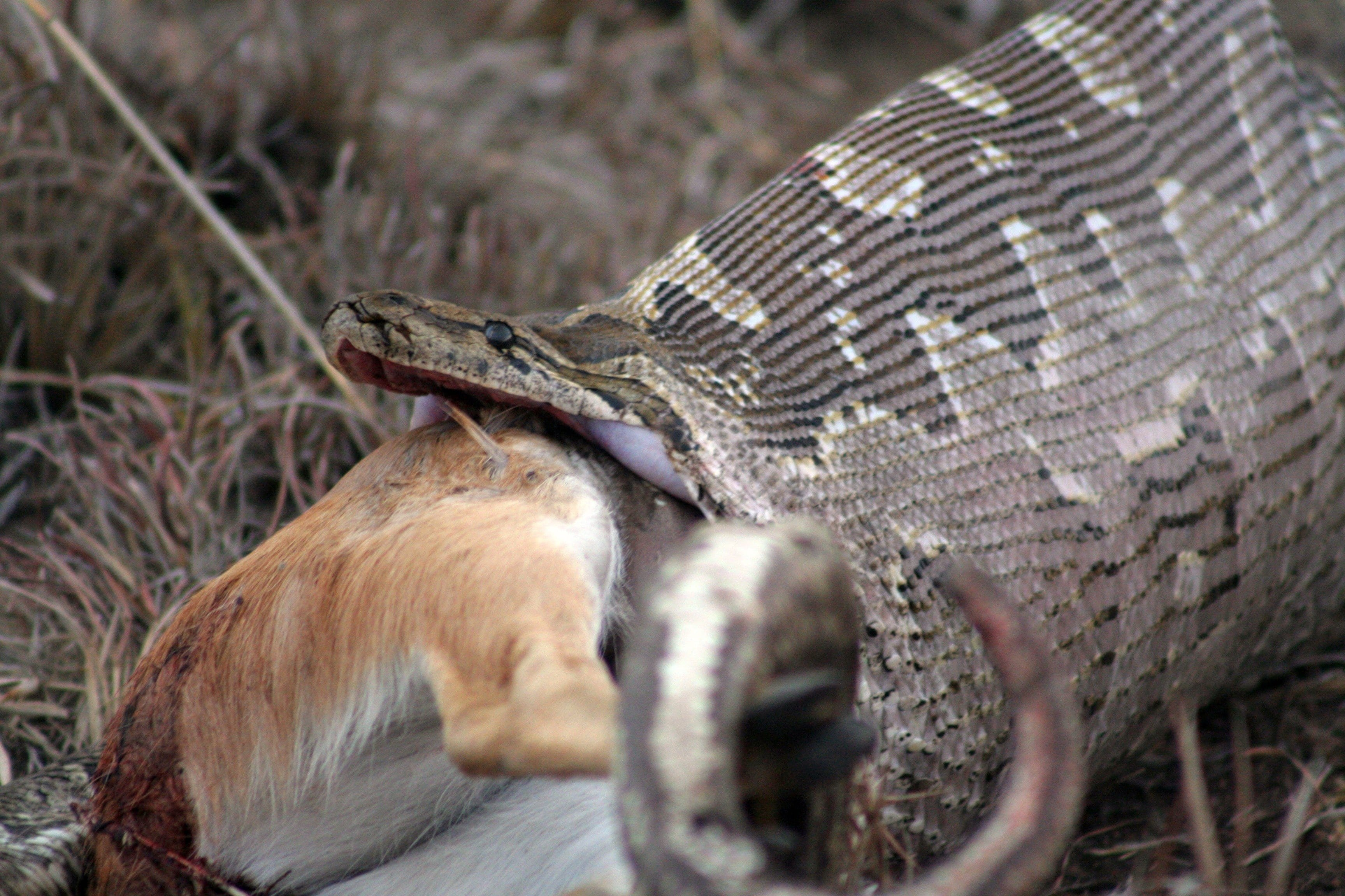 rock python eating antelope