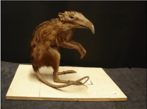 A taxidermic preservation of an African Elephant Shrew (Z2789)
