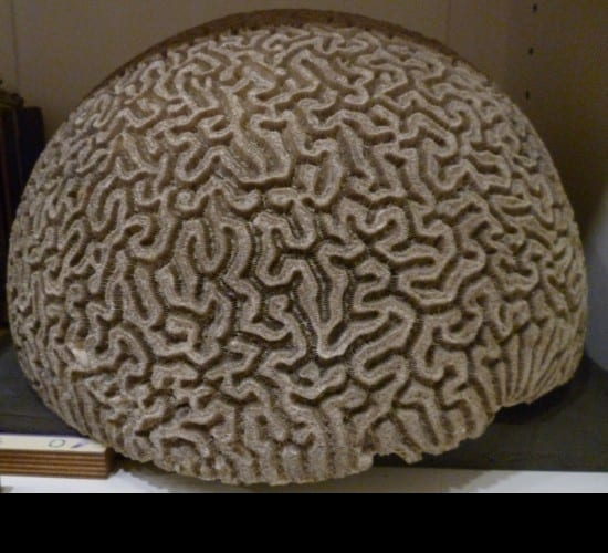 brain coral 3