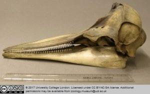Delphinus sp Common dolphin Grant Museum Z2277