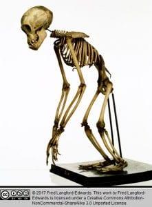 ChimpanzeeSkeleton