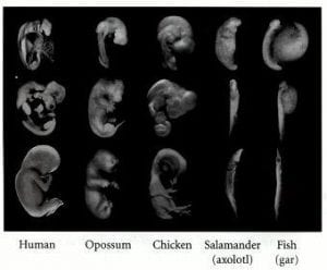 Image 4. Vertebrate embryos. Image taken from https://www.ncbi.nlm.nih.gov/books/NBK9974/